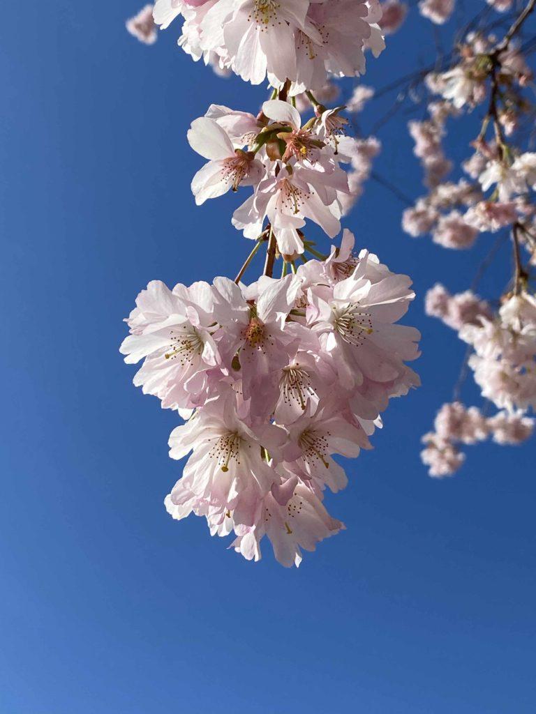 Das Frühlingserwachen mit seiner bunten Blütenvielfalt gibt Mut und Hoffnung in Zeiten des Corona-Virus. (Bid: Thorsten Claus)
